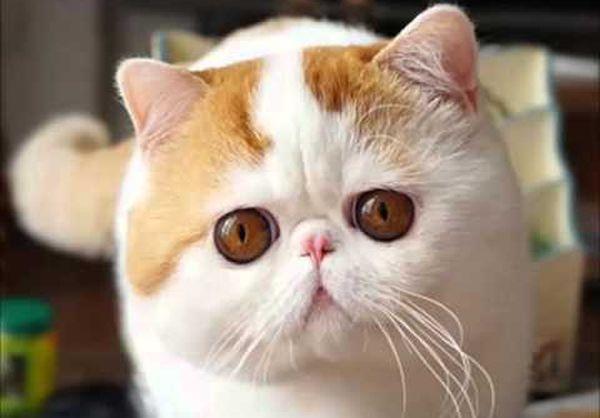 Особенности ухода за кошками экзот