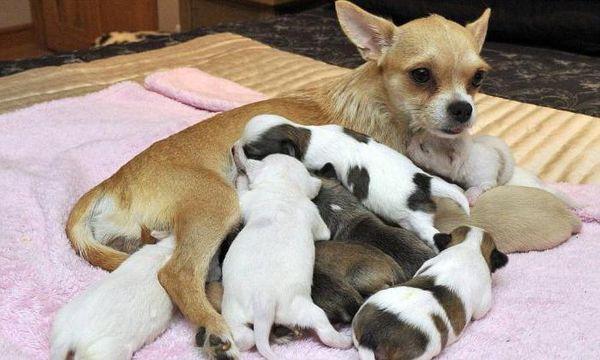 При тазовом предлежании щенки рождаются вперед ножками