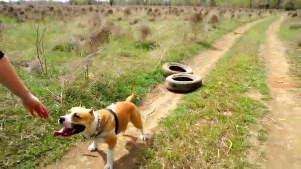 Силовые тренировки для собаки