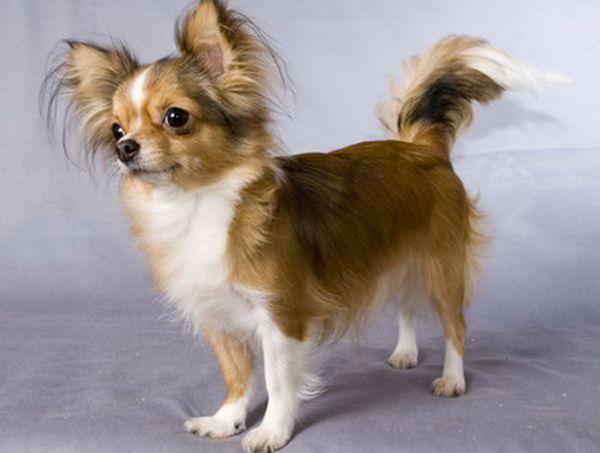 Длинношерстный чихуахуа – миниатюрная собачка
