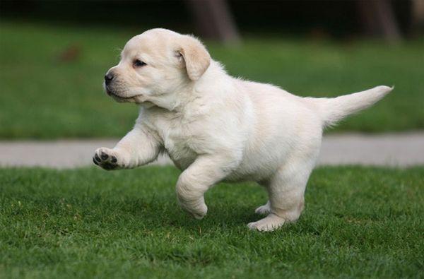 Палевые щенки лабрадора могут иметь светлый окрас