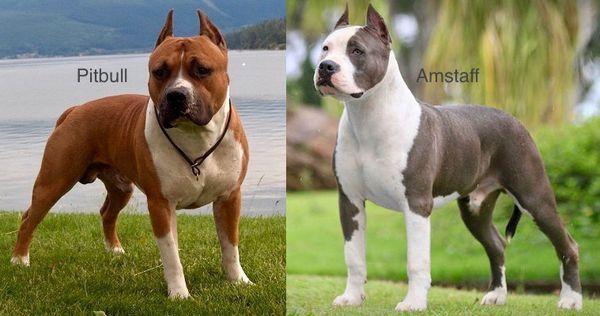 Породы собак Питбуль и Амстафф