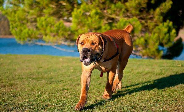 Выставочная чистокровная собака породы бурбуль