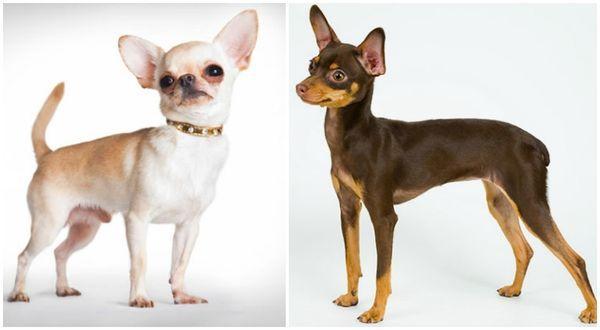 Метис той-терьера и чихуахуа – маленькая милая собачка