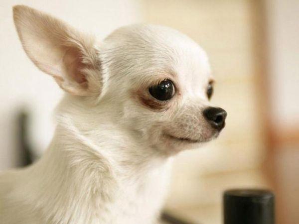 Ветеринар может корректировать график прививок чихуахуа