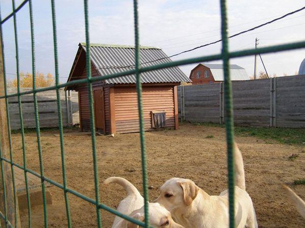 Лабрадоры часто живут в вольерах