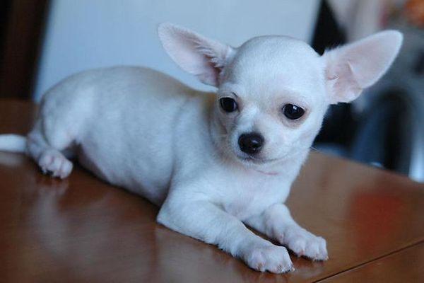 Собаки породы чихуахуа склонны к ожирению
