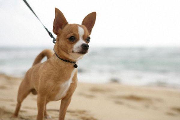 Перед вакцинацией чихаухуа нужно проконсультироваться с ветеринаром