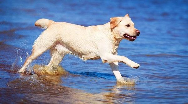 Лабрадор - добрая, преданная собака