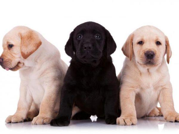 Выбирая лабрадора следует «пообщаться» с собакой