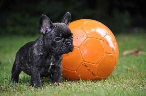 Французский бульдог считается спокойной собакой