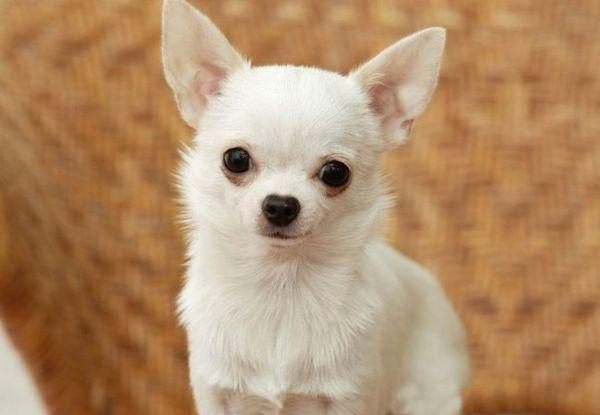 Первую прививку щенку чихуахуа делают в 8 недель