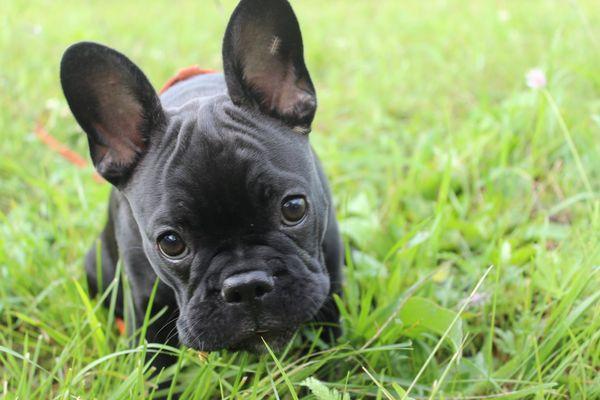 Той-бульдог очень дружелюбная собака