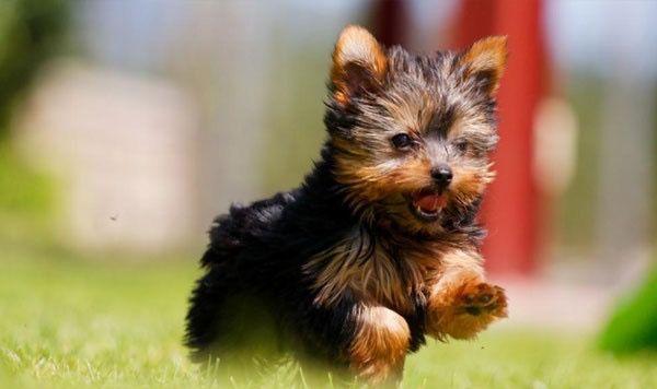Йоркширский терьер довольно компактная собачонка