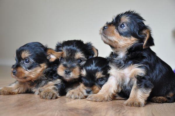 Лучше выбирать щеночка йорка в возрасте около полугода