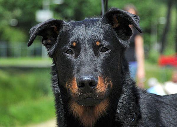 Босерон – старейшая аборигенная порода пастушьих собак