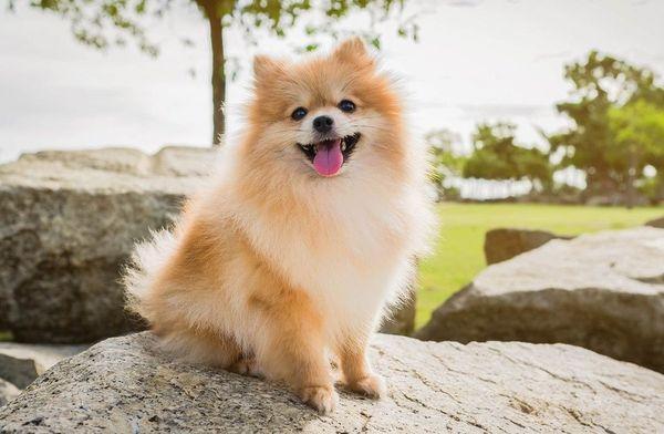 Шпицы - самые популярные собаки в интернете