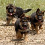 немецкая овчарка щенки бег