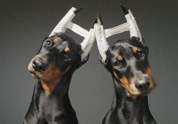 Купировать уши у доберманов может каждый ветеринар
