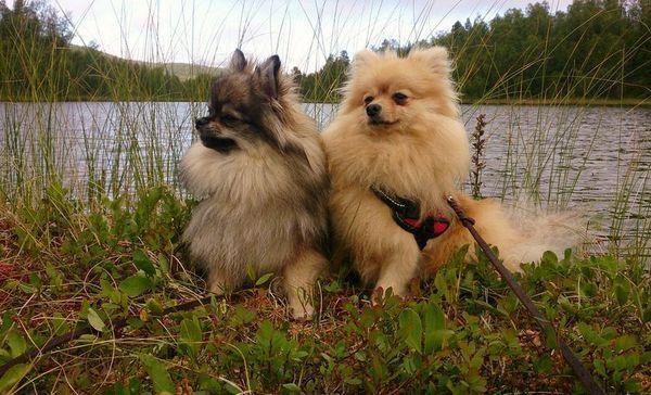 Рост зрелой собаки составляет меньше 30 см