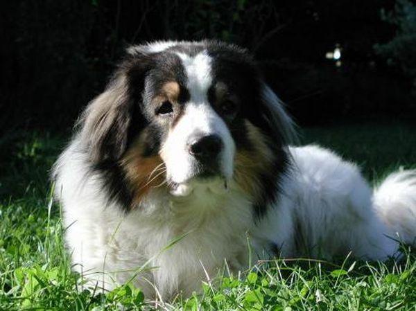 Болгарская овчарка относится к массивным породам собак