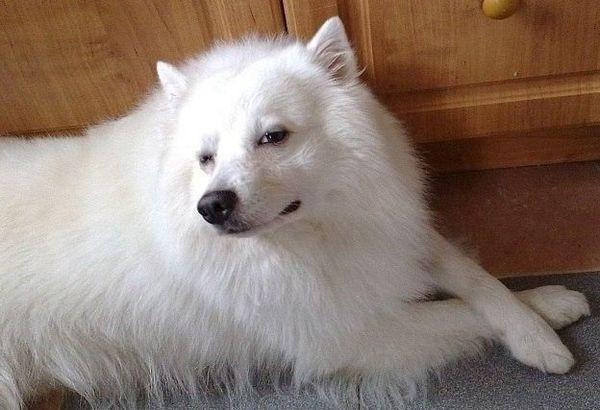 Мордочка собаки имеет клиновидную форму