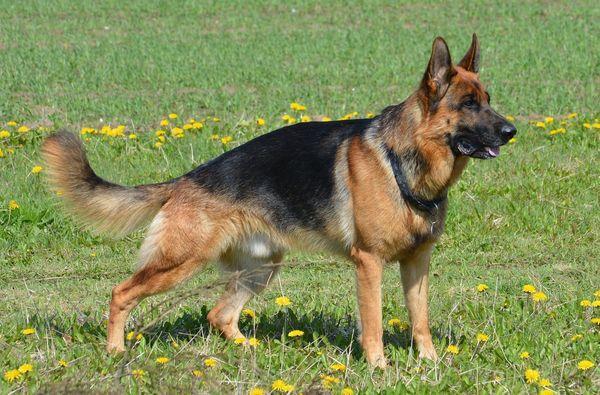 Важно регулярно тренировать немецкую овчарку