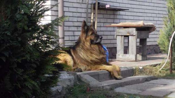 К вязке нужно подготовить помещение и собак