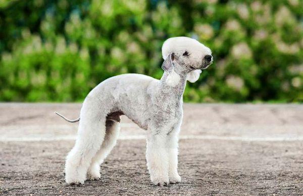Бедлингтон-терьер – мускулистая собачка