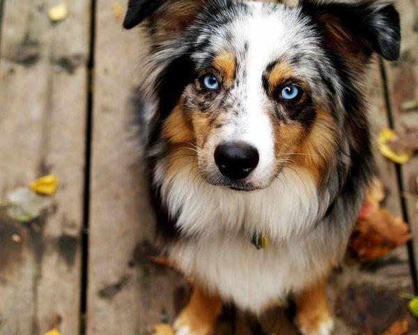 Австралийская мини-овчарка представляет собой пастушью собаку