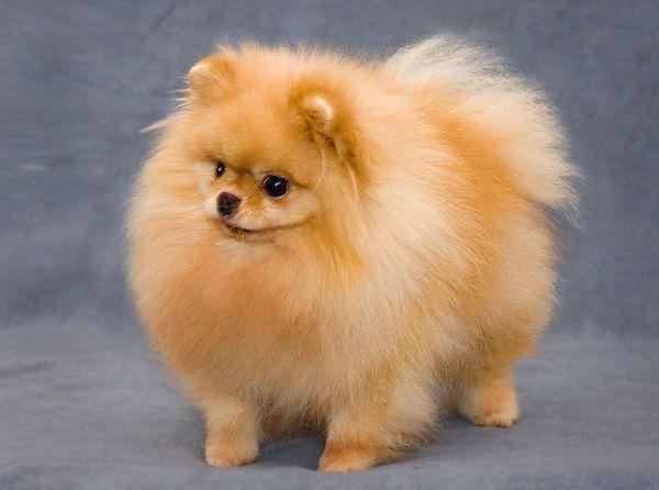 Карликовый шпиц считается древней породой собак