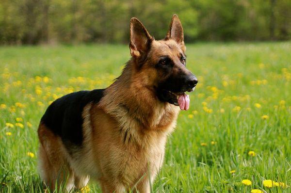 Во время течки собака должна меньше гулять