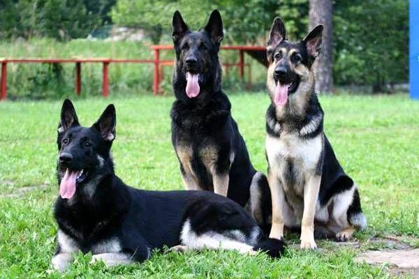 Восточно-европейская овчарка – универсальная собака