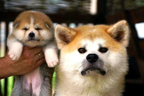 Популярная порода собаки акита-ину