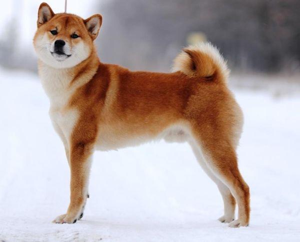 Популярная порода собаки сиба-ину
