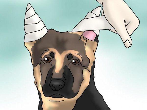 Пример, как поставить уши овчарке