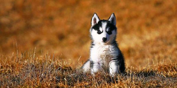 Важно, чтобы щенок хаски сразу почуял «вожака стаи»