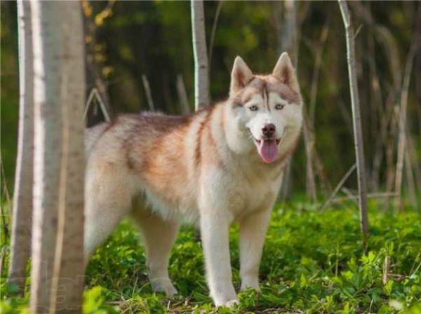 Хаски – это уникальная порода собак