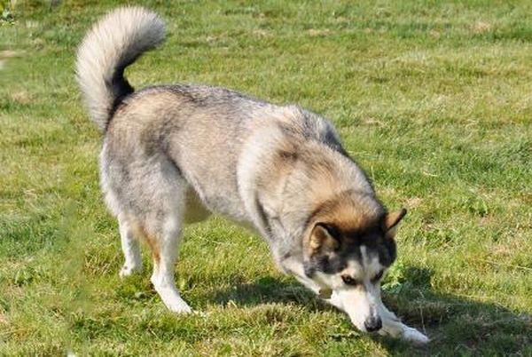 Серый (волчий) окрас породы