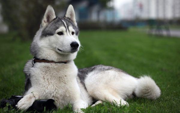 Очень эффектен серо-белый «волчий» оттенок