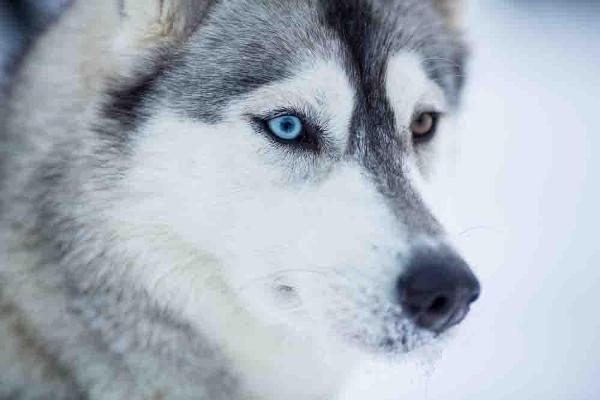 Разные глаза у хаски - тревожный сигнал