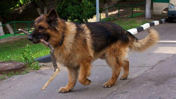 клички для собак мальчиков немецкой овчарки три вида