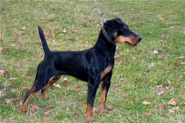 Немецкий ягдтерьер – мелкий охотничий норный пес