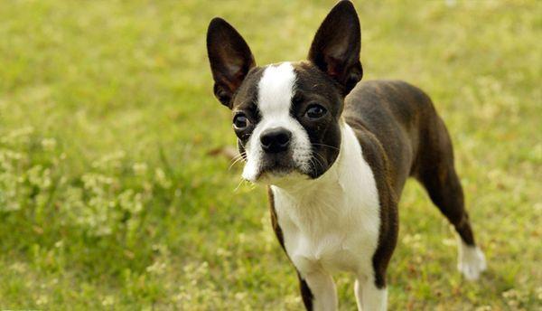 Бостонский терьер – энергичная, независимая собака