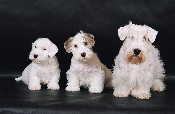 Силихем-терьер – небольшая собачка