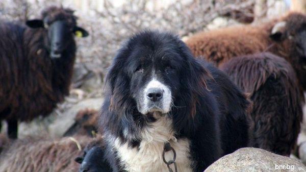 Болгарская овчарка - надежный защитник