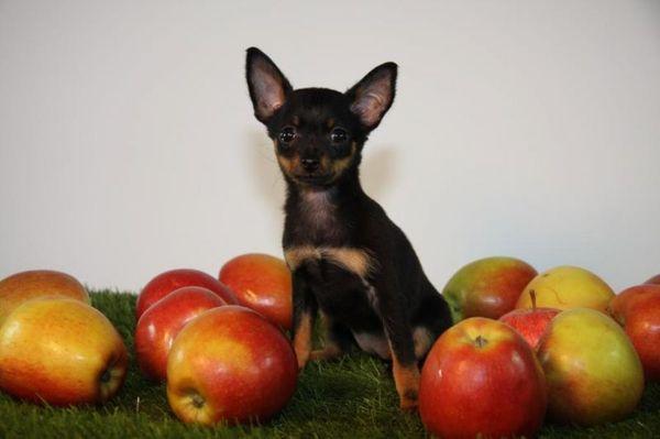 Из фруктов той-терьерам хорошо давать яблоки
