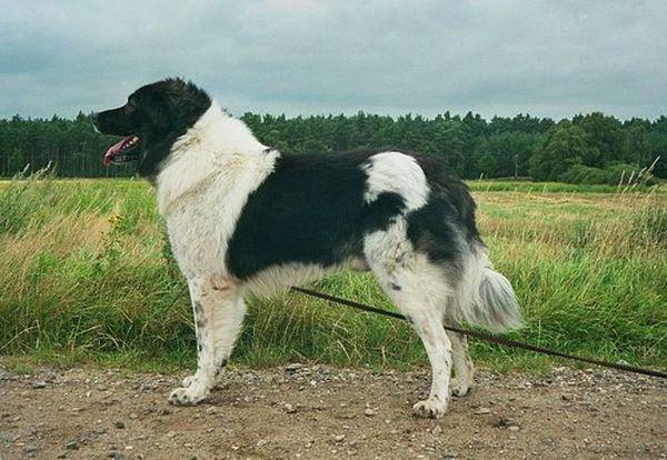 Генетически болгарская овчарка предрасположена к жизни на открытом воздухе