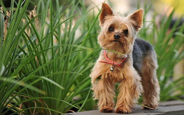 В среднем, взрослая собака может вырасти до 17 см