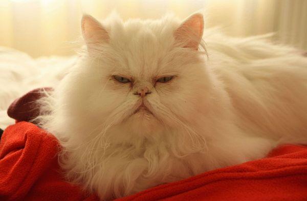 Персидские коты нуждаются в регулярном вычесывании